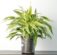Dracaena Warneckiei Plant