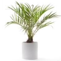 Dwarf Palm