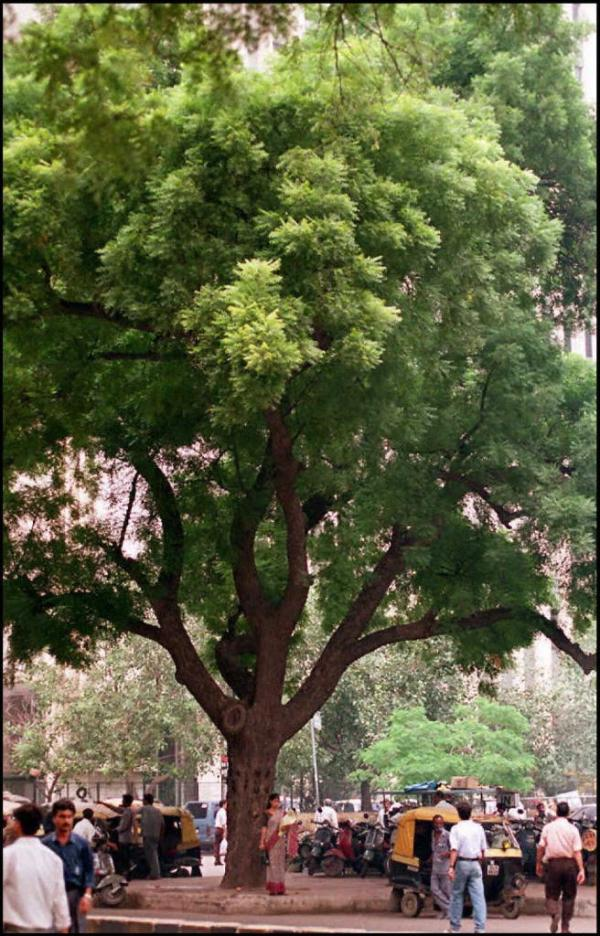 full grown neem tree