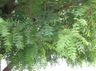 Neem Branch