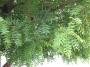 Neem Plant (a.k.a) Azadirachtaindica