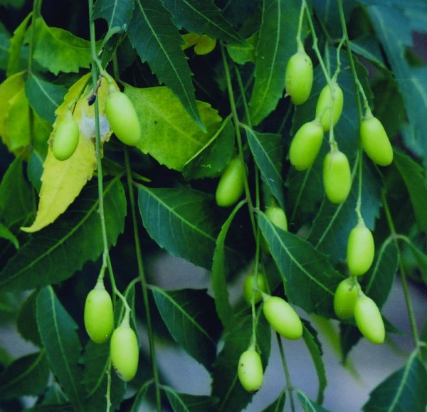 Neem Seeds n' Fruits