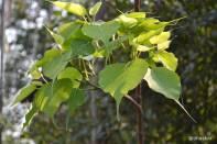 Peepal Tree Leaves
