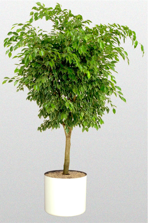 Weeping Fig Plant | IndiaGetGreen blog