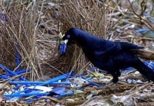 browerbirds