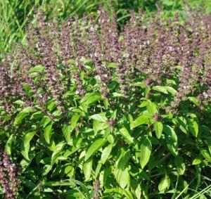 Tulsi-Plant