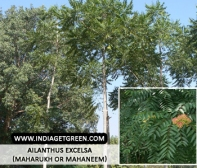 Ailanthus excelsa (Maharukh or Mahaneem)