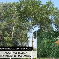 Ailanthus excelsa (Maharukh or Mahaneem)