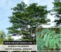 Albizzia falcataria (White Albizzia, Sengon)