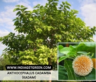 Anthocephalus cadamba (Kadam)