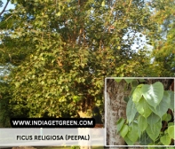 Ficus religiosa (Peepal)