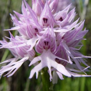 naked-man-orchid-orchis-italica [6]
