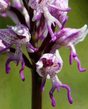 nakedmanorchid