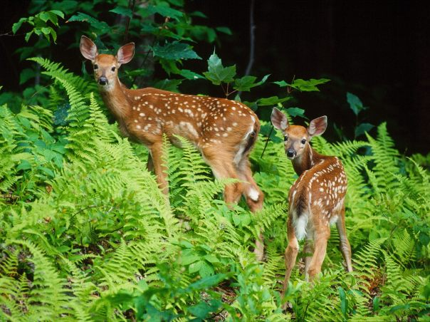 roaming-around-the-bright-leaves-green-forest-fawns-pictures